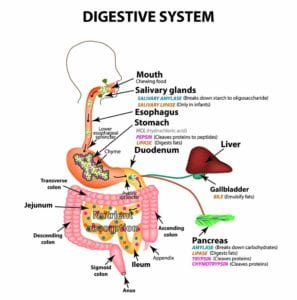 The Human Digestive System. Anatomical Structure. Digestion Of C